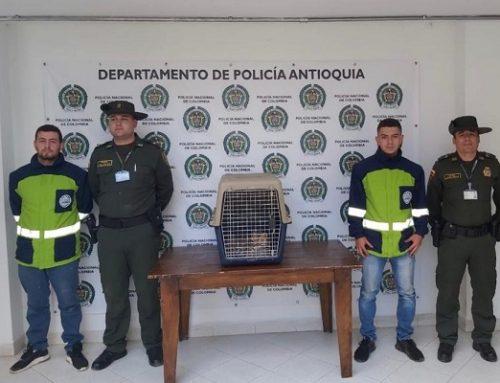 Rescatamos ocelote en zona rural de Marinilla