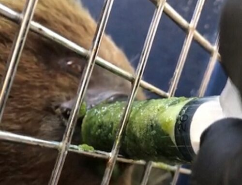 Perezoso encontrado en la vía entre La Ceja y La Unión ya fue liberado en su hábitat natural