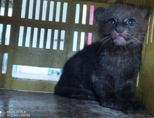 ¡Podemos convivir con los felinos silvestres! Comunidad de Alejandría reportó Jaguarundi y ahora está en su hábitat natural