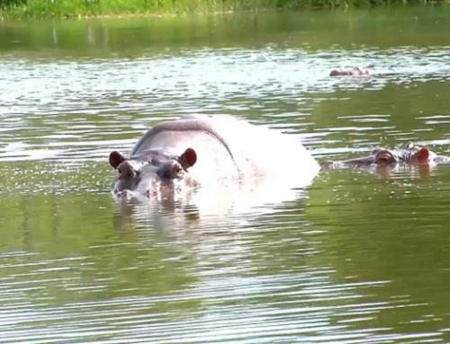 Cornare y Ministerio de Ambiente se unen para buscar  una solución definitiva a la problemática de hipopótamos en el Magdalena Medio